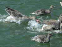 Paradies für Seeadler, Haubentaucher und Graugänse