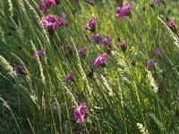 Kartäusernelke – Dianthus carthusianorum: Duftende Blüten gegen Pest und Würmer