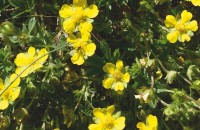 Frühlings-Fingerkraut – Potentilla verna