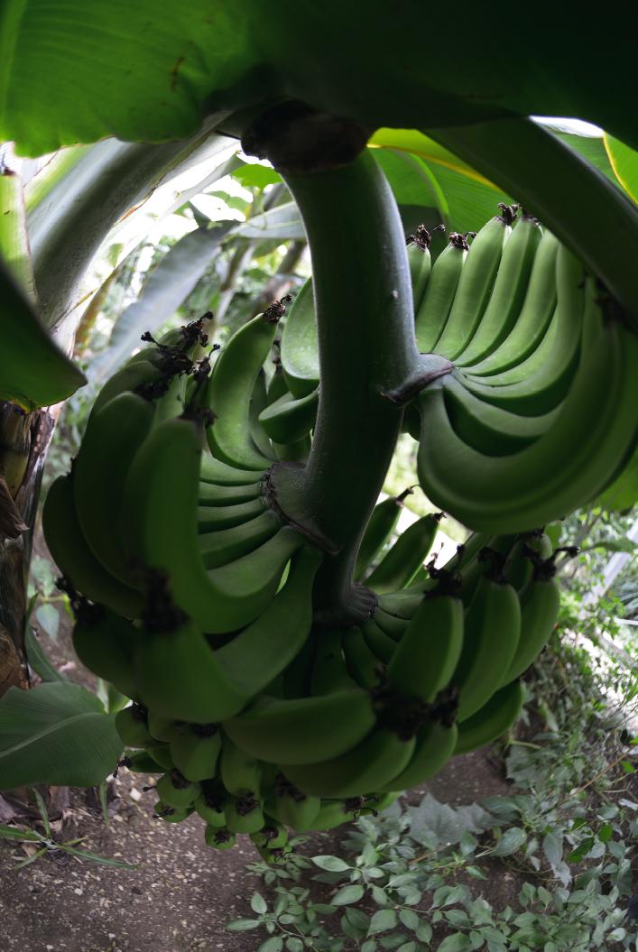 Tropische Früchte, zum Beispiel Bananen, wachsen auch im Frankenwald. Allerdings muß ein Gewächshaus drumherum gebaut und kräftig geheizt werden.