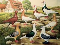 Nürnberger und fränkische Taubenrassen. Gemälde von Max Holdenried.