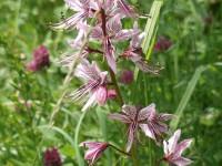 Diptam – Dictamnus albus:  Magische Schönheit mit Knalleffekt