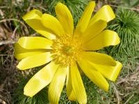 Frühlingsadonisröschen – Adonis vernalis