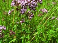 Gemeiner Dost – Origanum vulgare