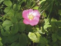 Essigrose – Rosa gallica