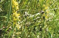 Gemeiner Odermennig –  Agrimonia eupatoria