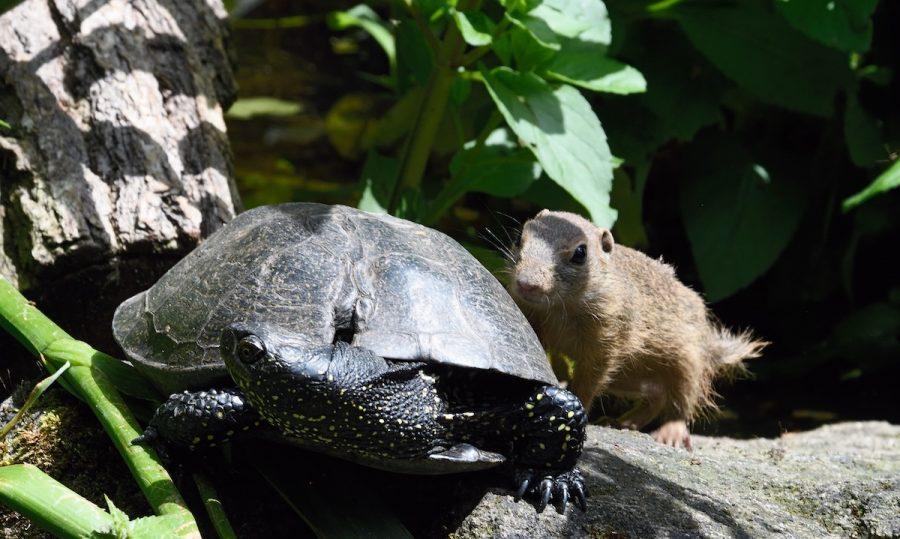 Europäische Sumpfschildkröte  Artenschutzprogramm im Nbger Tiergarten