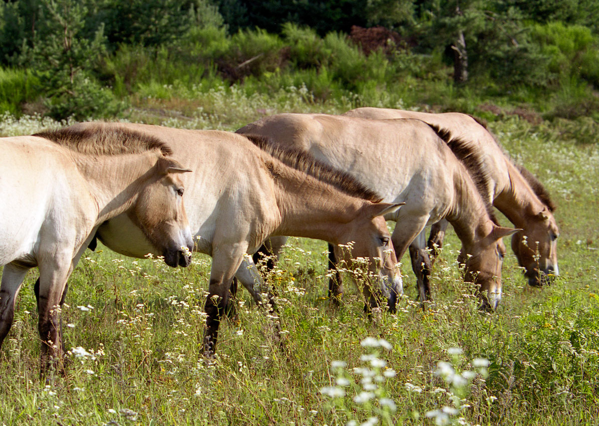 Przewalski-Pferde im Tennenloher Forst bei Nürnberg