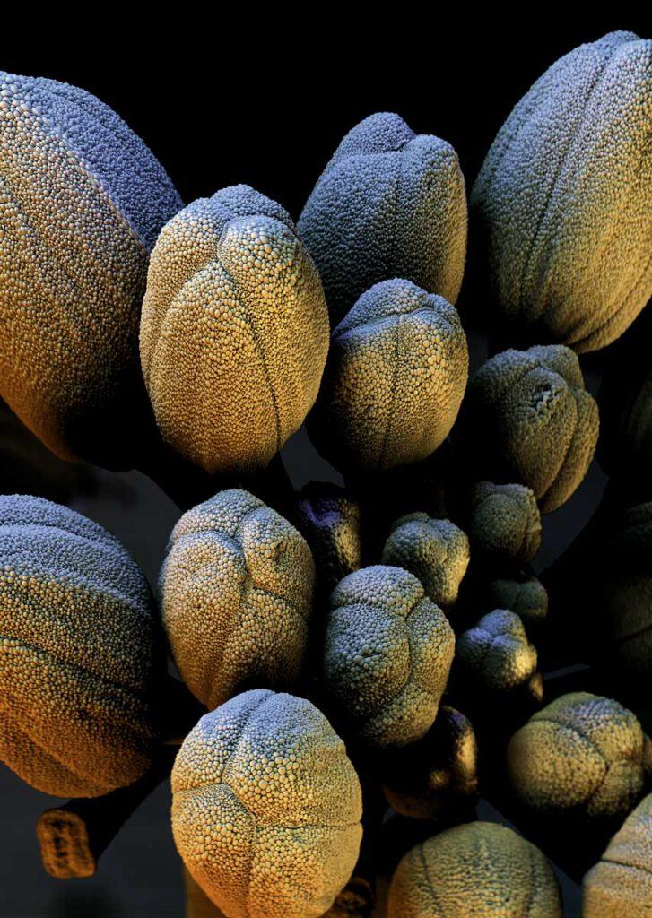 Meerrettich-Blüte unter dem Elektronenmikroskop