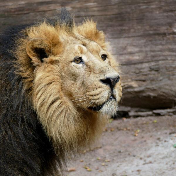 Löwe Subali im Nürnberger Tiergarten